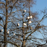 White Ibis Roosting