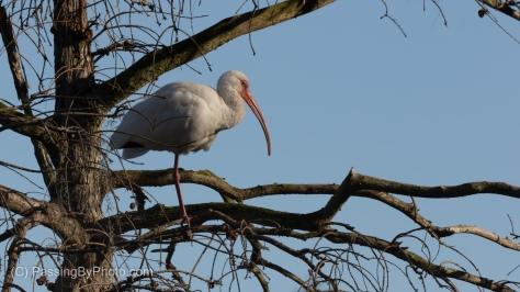 White Ibis in Tree