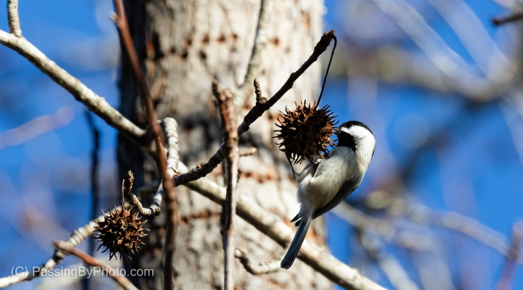 Carolina Chickadee on Sweet Gum