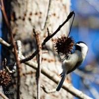 Carolina Chickadee on Sweet Gum Ball