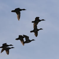 Blue-winged Teals, Alert, Alert