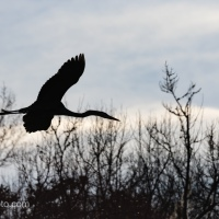 Great Blue Heron Flying In, Treetop