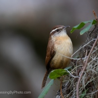 Carolina Wren Getting Lunch