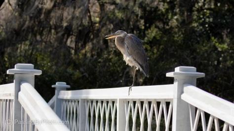 Great Blue Heron on Long White Bridge