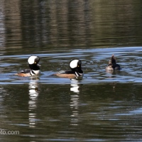 Male Hooded Merganser Duo Showing Off