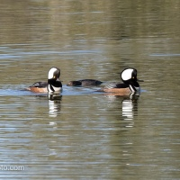 Male Hooded Merganser Duo Showing Off, Female Interest