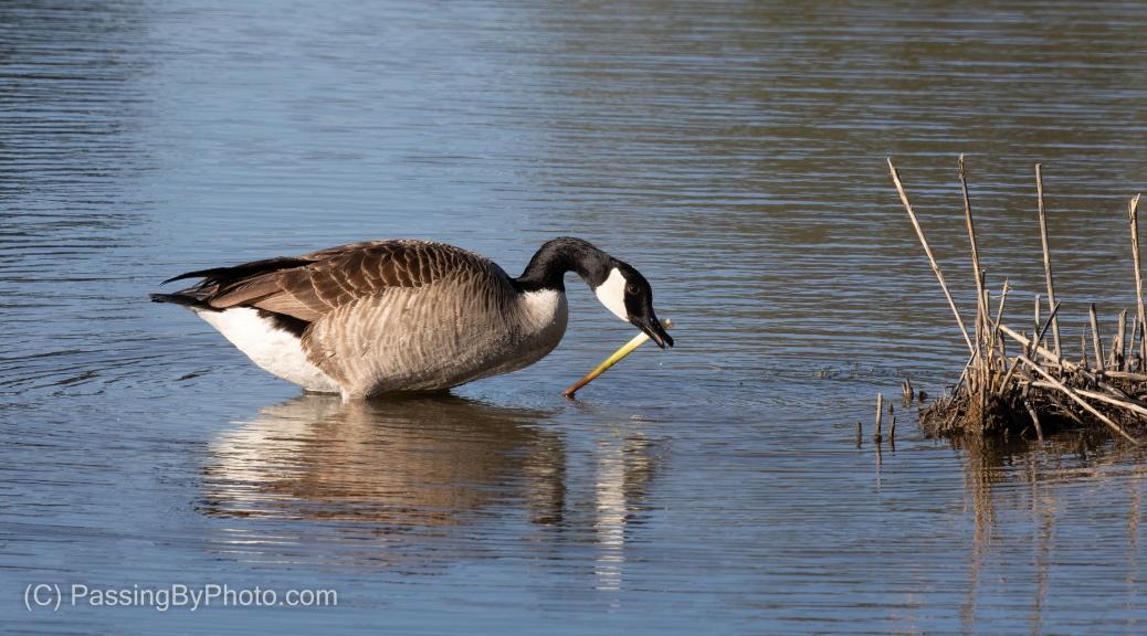 Canada Goose With Treasure