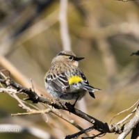 Yellow-rumped Warblers Everywhere