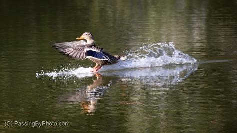 Female Mallard Landing