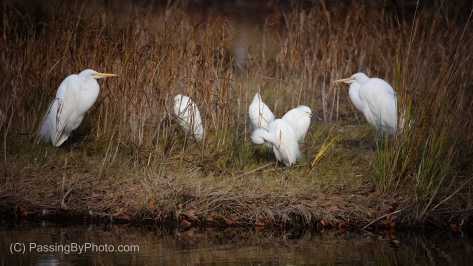Two Great Egrets and Four Snowy Egrets