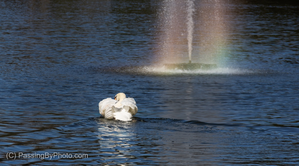 Mute Swan and Fountain