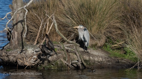 Great Blue Heron and Double-crested Cormorants