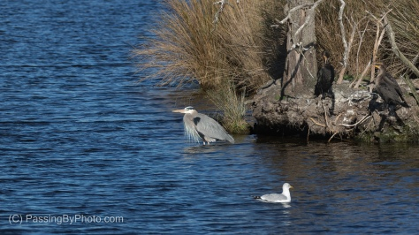Great Blue Heron, Double-crested Cormorants, and Ring-billed Gull