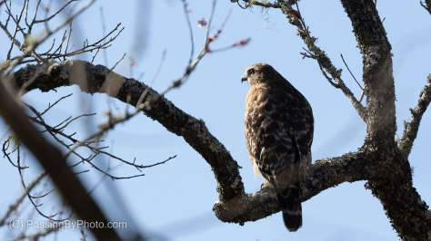 Red-shouldered Hawk - Rear View