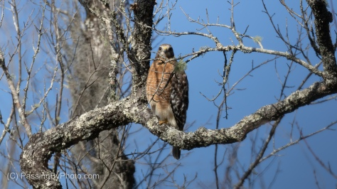 Red-shouldered Hawk - Front View