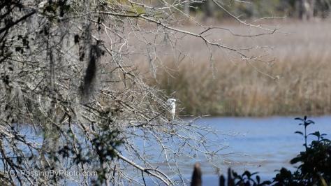 Snowy Egret, Ashley River