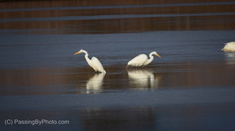 Great Egret Face-off