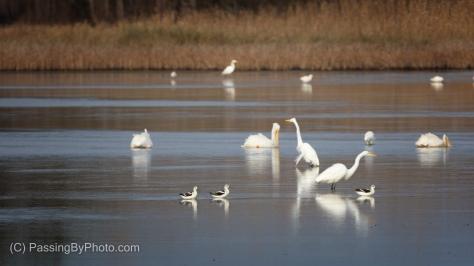 American Avocet, American White Pelican, Great Egret