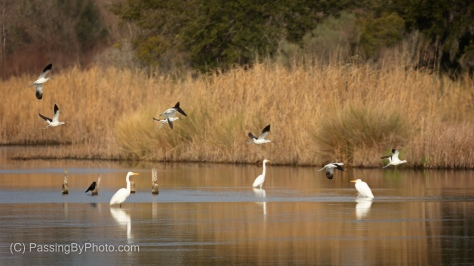 American Avocet taking off, American White Pelican, Great Egret