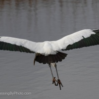 Startled Wood Stork