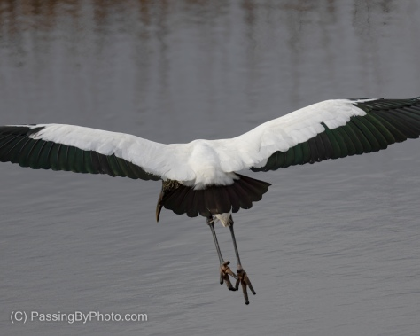 Wood Stork Flying Away