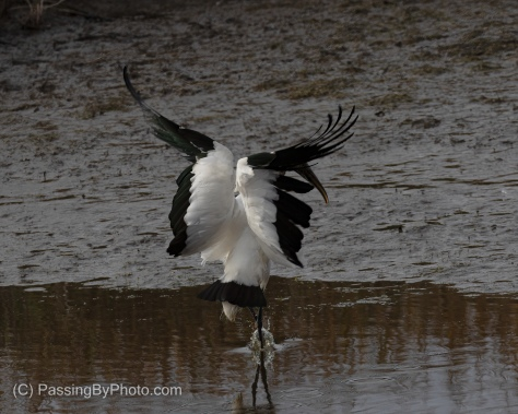 Wood Stork Touching Down