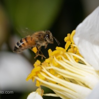 Bee on White Camellia