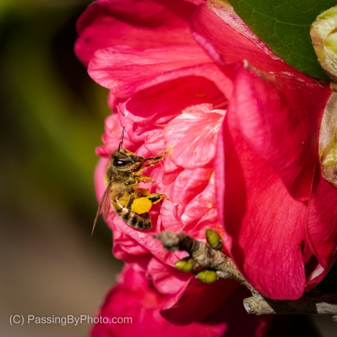 Bee Gathering Pollen From Red Camellia