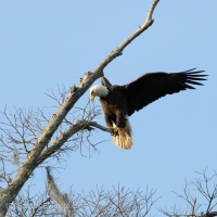 Bald Eagle, Turning Around