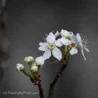 Silent Sunday: White Blossom Cluster