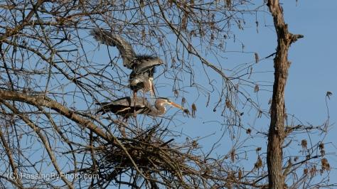 Great Blue Heron Pair Mating