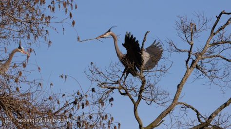 Great Blue Heron Bringing Stick to Nest
