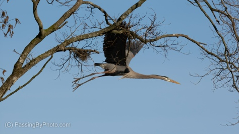 Great Blue Heron Going For Stick